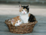 Domestic Cat, Two Kittens in Wicker Basket Poster by De Meester