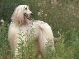 Afghan Hound Looking Back Photo by Adriano Bacchella