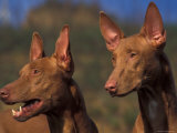 Domestic Dogs, Two Pharoah Hounds Photographic Print by Adriano Bacchella