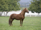 Chestnut Paso Fino Stallion, Ojai, California, USA Prints by Carol Walker
