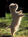 West Highland Terrier / Westie Standing on Hind Legs Poster by Adriano Bacchella