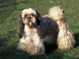 Shih Tzu Standing on Grass with Short Facial Hair and Showing Long Hair on Legs Posters by Adriano Bacchella