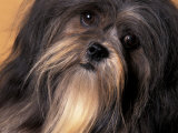 Lhasa Apso Face Portrait Photographic Print by Adriano Bacchella
