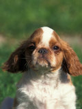 King Charles Cavalier Spaniel Puppy Portrait Photographic Print by Adriano Bacchella