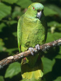Mealy Amazon Parrot Photographic Print by Lynn M. Stone