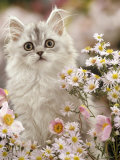 Silvertabby (Chinchilla X Persian) Kitten Among Michaelmas Daisies and Japanese Anemones Prints by Jane Burton
