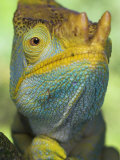 Portrait of Male Parson's Chameleon, Ranomafana National Park, South Eastern Madagascar Print by Nick Garbutt