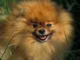 Pomeranian Portrait Print by Adriano Bacchella