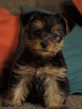 Yorkshire Terrier Puppy Portrait Prints by Adriano Bacchella