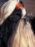 Shih Tzu Profile with Hair Tied Up Posters by Adriano Bacchella