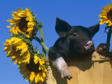 Domestic Piglet in Bucket with Sunflowers, USA Posters by Lynn M. Stone