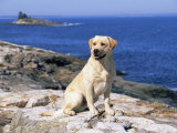 Labrador Retriever on Coast, Maine, USA Prints by Lynn M. Stone