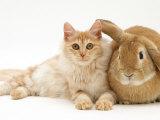 Red Silver Turkish Angora Cat with Sandy Lop Rabbit Prints by Jane Burton