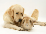 Golden Retriever Smelling Sandy Lop Rabbit Affiches par Jane Burton