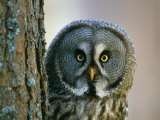 Portrait of Great Grey Owl (Strix Nebulosa) Behind Scots Pine Tree, Scotland, UK Poster by Pete Cairns