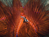 Emperor Snapper, Juvenile Sheltering, False Fire Urchin, Lembeh Strait, North Sulawesi, Indonesia Premium Photographic Print by Georgette Douwma