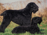 Domestic Dogs, Russian Black Terrier with Pup Poster by Adriano Bacchella