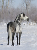 Rear View of Grey Andalusian Stallion Standing in Snow, Longmont, Colorado, USA Poster by Carol Walker