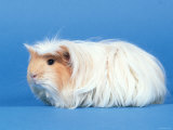 Red Moulted Coronet Guinea Pig Poster by Petra Wegner