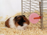 Guinea Pig Feeding at Mineral Stone Poster by  Steimer