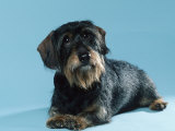 Wire-Haired Dachshund Photographic Print by Petra Wegner