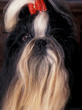 Shih Tzu Portrait with Hair Tied Up Photo by Adriano Bacchella