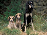 Saluki Sitting up with Two Puppies Photographic Print by Adriano Bacchella