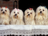 Domestic Dogs, Four Maltese Dogs Sitting in a Row, All with Bows in Their Hair Photo by Adriano Bacchella