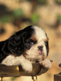 King Charles Cavalier Spaniel Puppy Portrait Photo by Adriano Bacchella