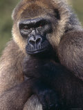Lowland Gorilla Photo by Lynn M. Stone