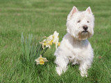 West Highland Terrier, Illinois, USA Posters by Lynn M. Stone