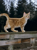 Domestic Cat, Ginger Kitten on Fence Photographic Print by Jane Burton