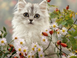 Domestic Cat, Turkish Van Kitten Among Michaelmas Dasies and Rose Hip Posters by Jane Burton