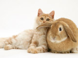 Red Silver Turkish Angora Cat and Sandy Lop Rabbit Snuggling Together Posters by Jane Burton