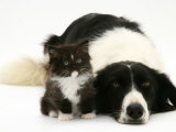 Black-And-White Border Collie Lying Chin on Floor with Black-And-White Kitten Posters by Jane Burton