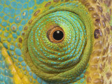 Male Parson's Chameleon, Close up of Eye, Ranomafana National Park, South Eastern Madagascar Poster by Nick Garbutt