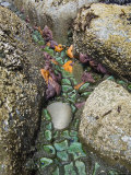 Giant Green Anemones, and Ochre Sea Stars, Exposed on Rocks, Olympic National Park, Washington, USA Posters by Georgette Douwma