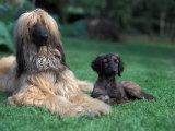 Domestic Dogs, Afghan Hound Lying on Grass with Puppy Print by Adriano Bacchella