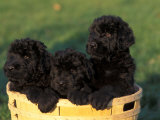 Domestic Dogs, Three Russian Black Terrier Puppies in a Basket Posters by Adriano Bacchella