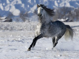 Grey Andalusian Stallion Cantering in Snow, Longmont, Colorado, USA Photographic Print by Carol Walker