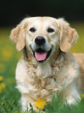 Golden Retriever Dog Photographic Print by Petra Wegner
