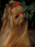 Yorkshire Terrier with Hair Tied up and Long Hair Photographic Print by Adriano Bacchella