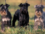 Domestic Dogs, Three Miniature Schnauzers on Leads Posters by Adriano Bacchella