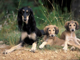 Saluki with Two Puppies Prints by Adriano Bacchella