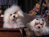 Domestic Dogs, Two Maltese Dogs, One Groomed and the Other Ungroomed Photographic Print by Adriano Bacchella