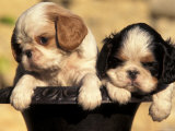 Domestic Dogs, Two King Charles Cavalier Spaniel Puppies in Pot Posters by Adriano Bacchella