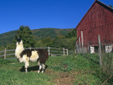 Domestic Llama, on Farm, Vermont, USA Posters by Lynn M. Stone