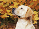 Labrador Retriever, Illinois, USA Prints by Lynn M. Stone