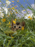 Domestic Cat, Kitten Stalking an Insect in the Long Grass Photographic Print by Jane Burton
