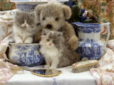 9-Week, Blue Bicolour Persian Kitten, Brindle Teddy Bear and Victorian Staffordshire Wash-Stand Set Prints by Jane Burton